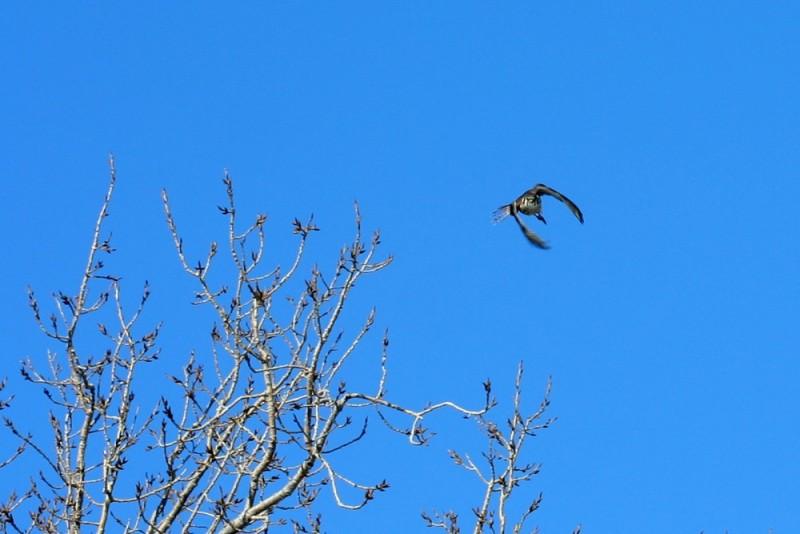 Peregrine Falcon in Chicago