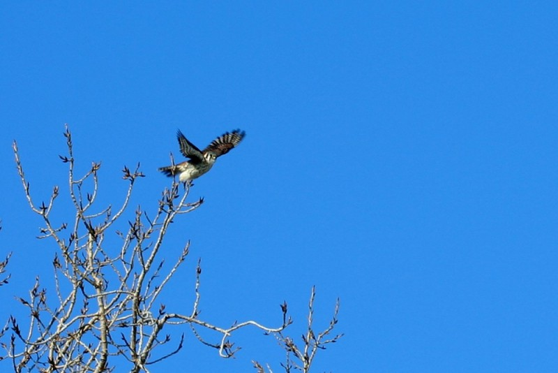 Peregrine falcon about to fly