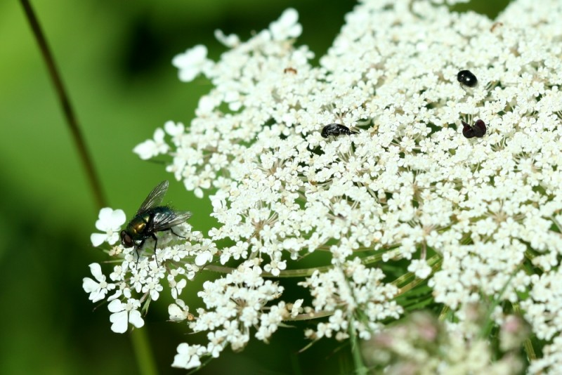 A fly sits on a white flower