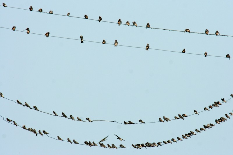 Barn Swallows on Wires