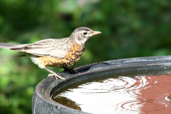 Juvenile Robin at Birdbath