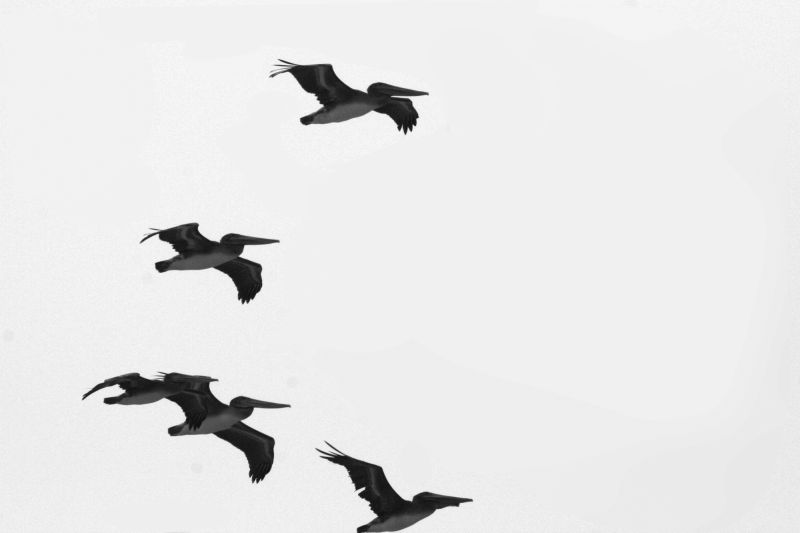 Pelicans flying off the Pacific Coast of Californi