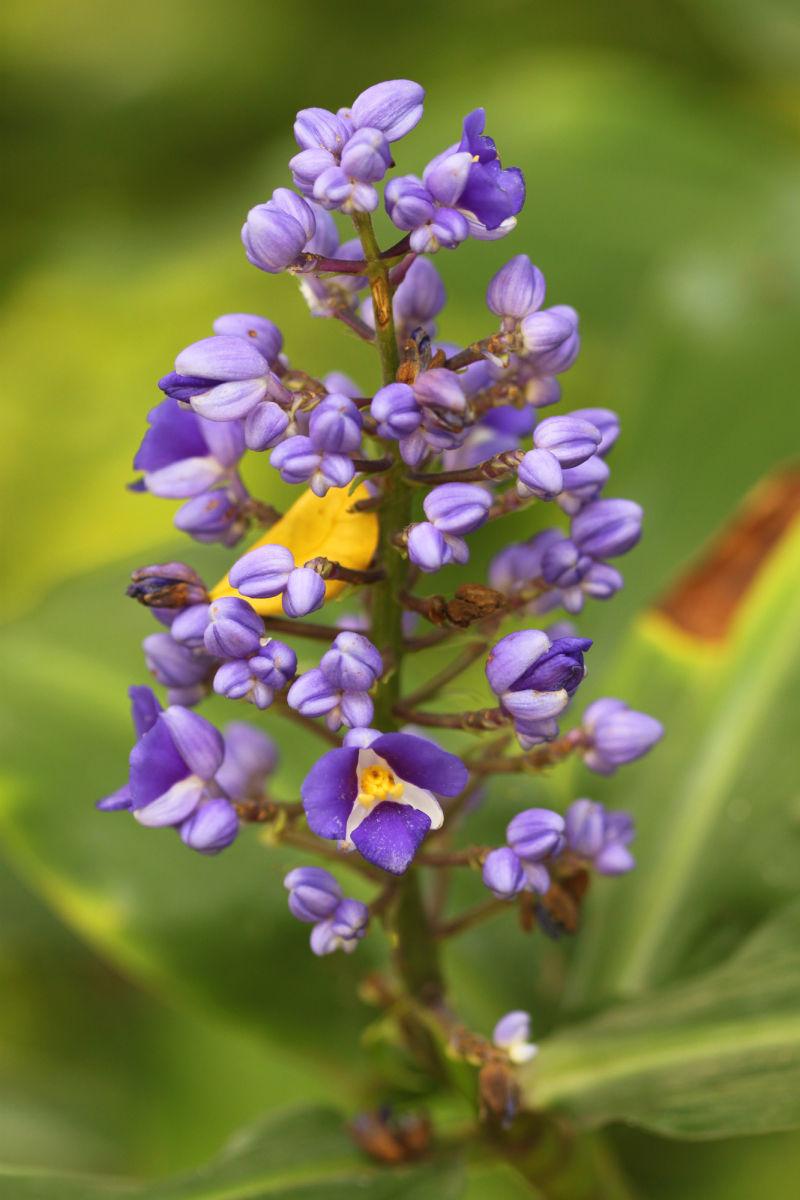 Lovely flower seen in Oahu garden