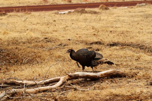 Wild Turkey in Zion National Park, Utah