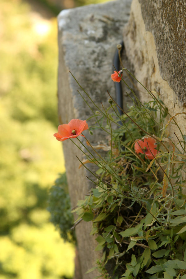 Wildflower growing on castle wall, Segovia, Spain