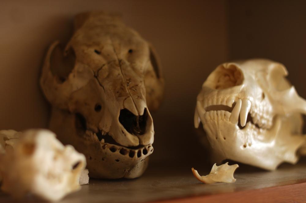 Skulls in Biology Classroom