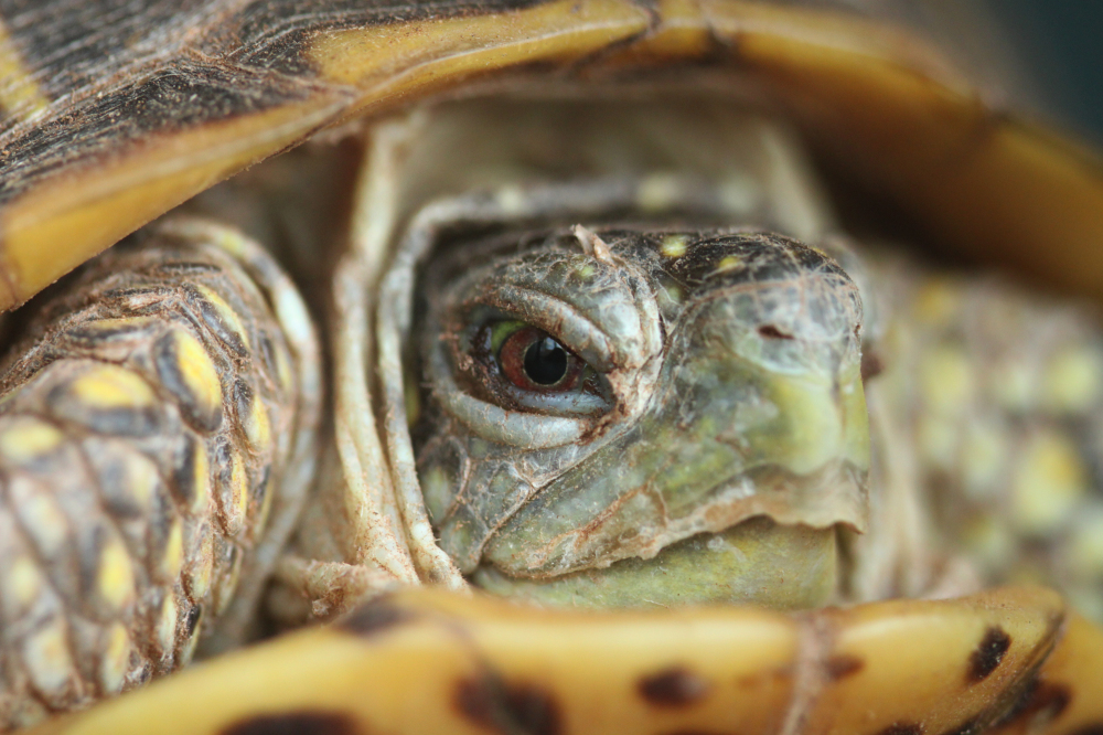 Eye of an ornate box turtle
