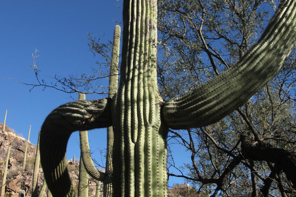 Saguaro cactus near Tucson Arizona