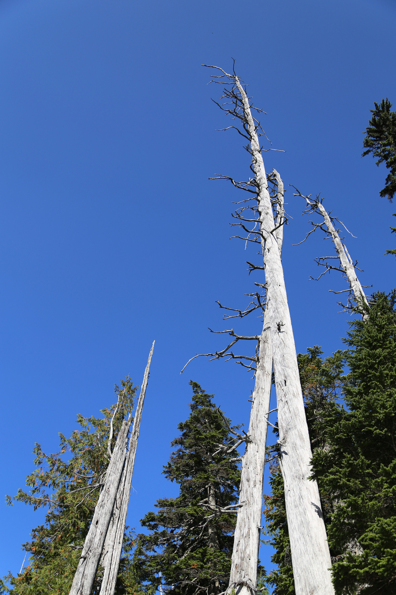 Dead tree in Cascade Mountains, Washington
