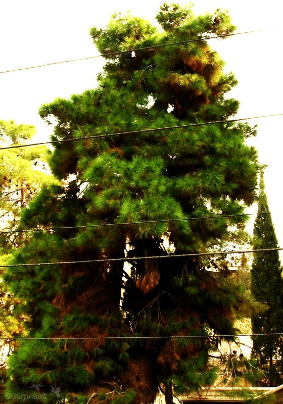 Tree Behind the Wires