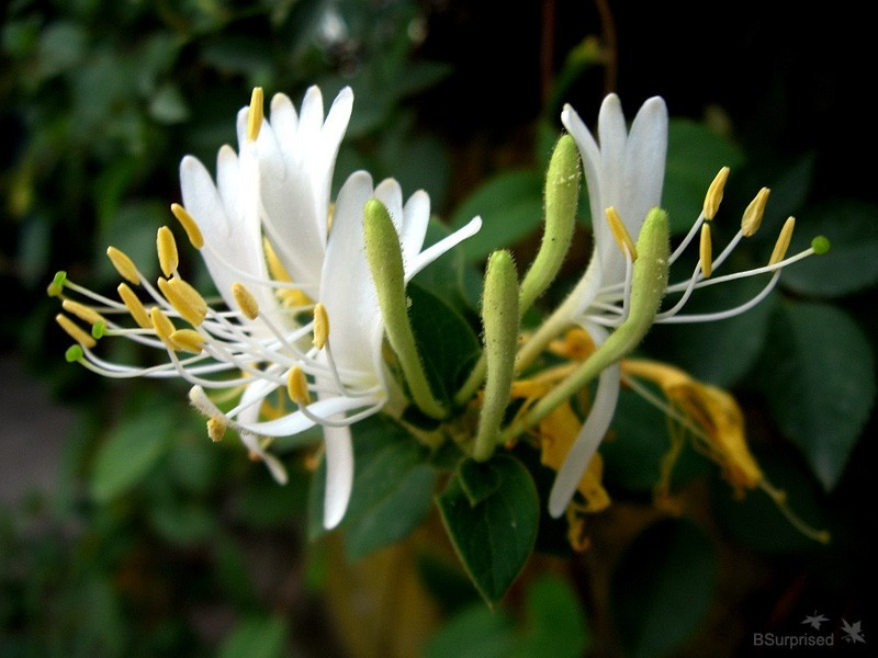 Honeysuckle Season