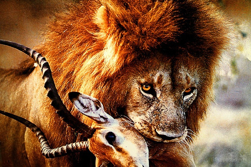 Lion's Lunch