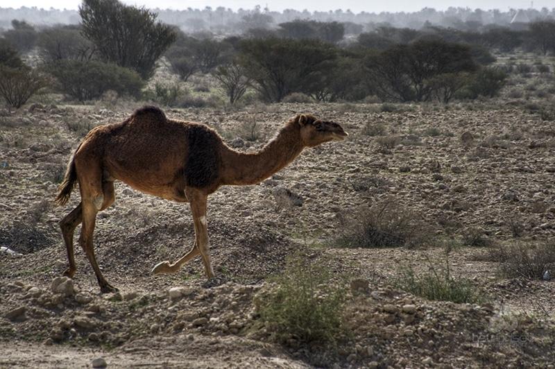 Little Camel