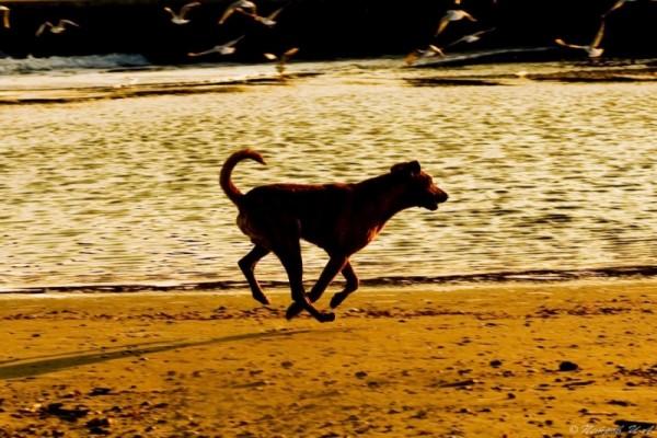 running dog