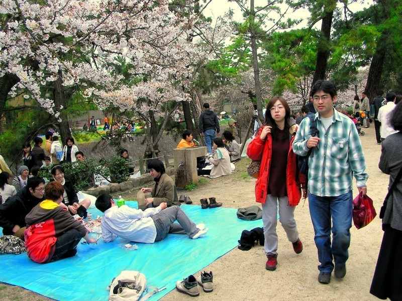 hanami shukugawa japan sakura blossom tree picnic