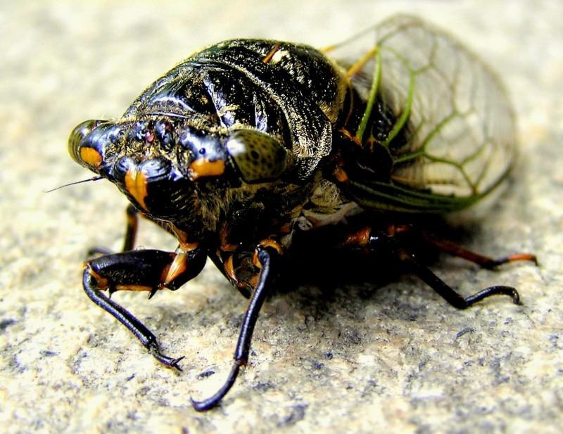 Japan cicada semi