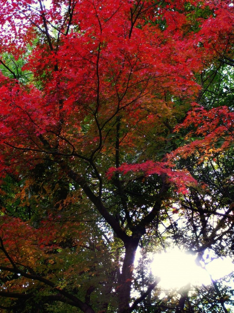 autumn leaf garden kyoto temple arashiyama tenryu-
