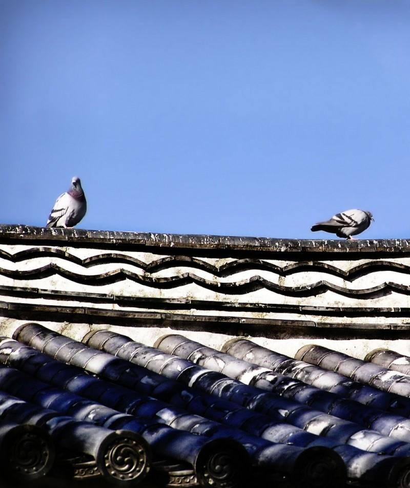 Kochi castle morning pigeons Shikoku Japan