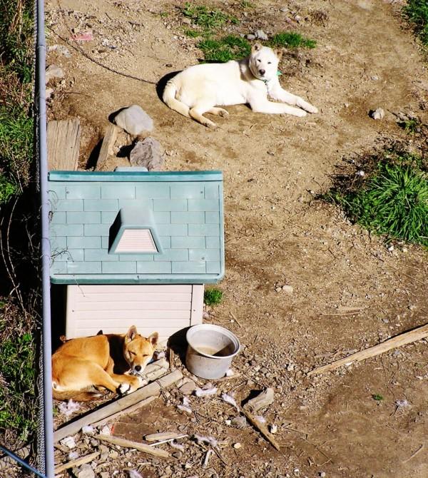 japan Shikoku dogs