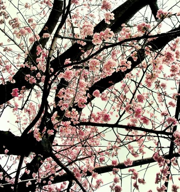sakura tree blossom Japan