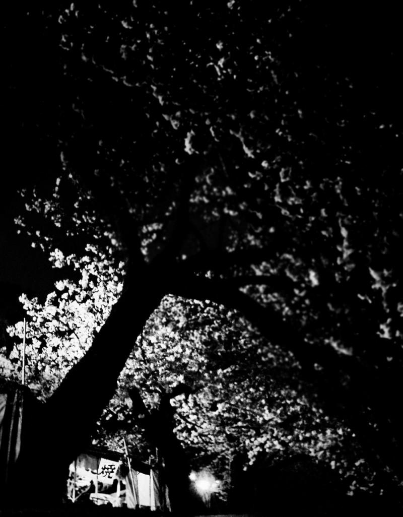 night sakura river