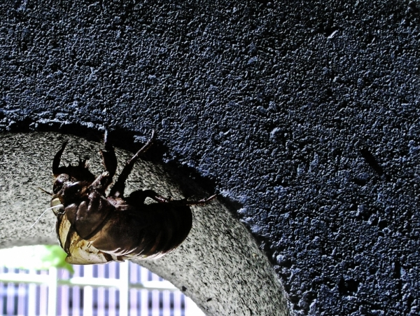 semi cicada shell summer Japan