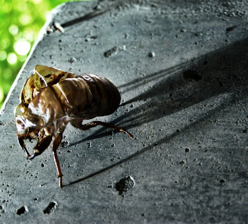 semi cicada shell summer Japan