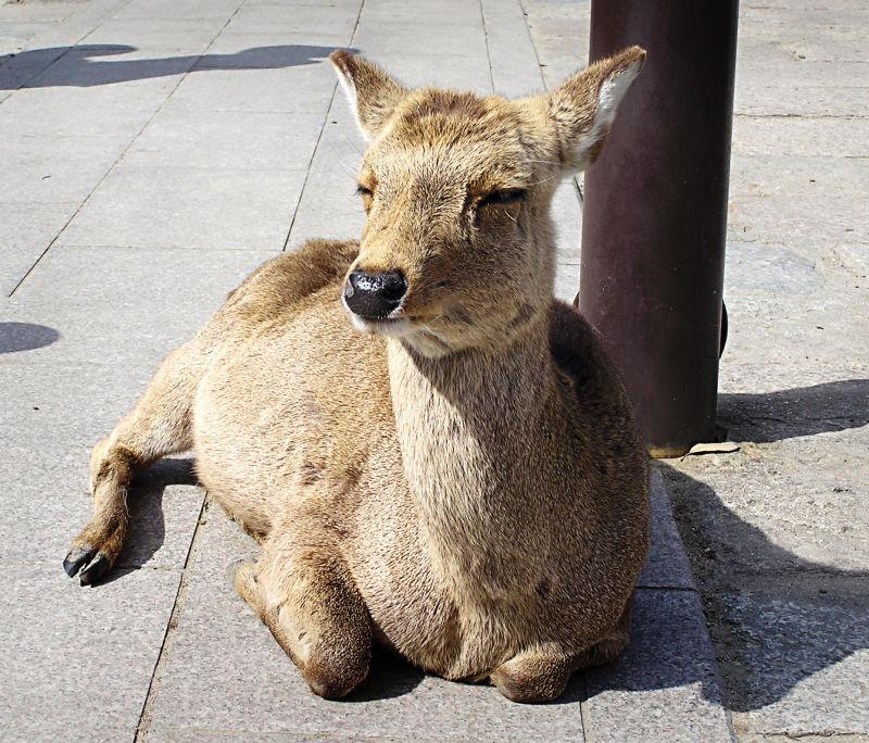 deer Nara Todaiji Japan