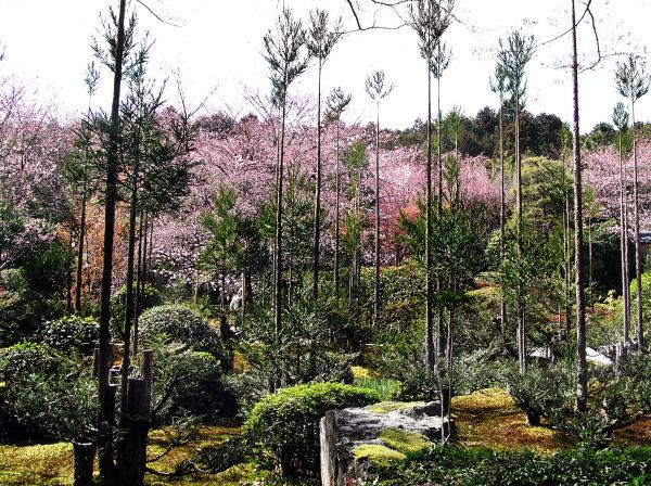Spring at Ryoan ji 5