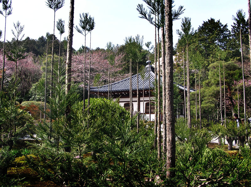Ryoan-ji garden temple hall tree Kyoto Japan