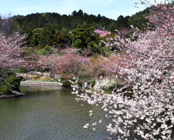 Spring at Ryoan ji 8