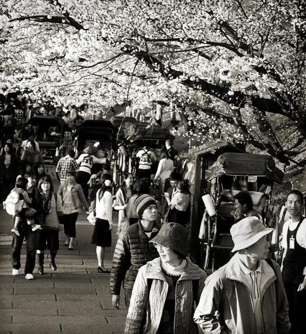 tourist Kyoto Japan sightseeing sakura