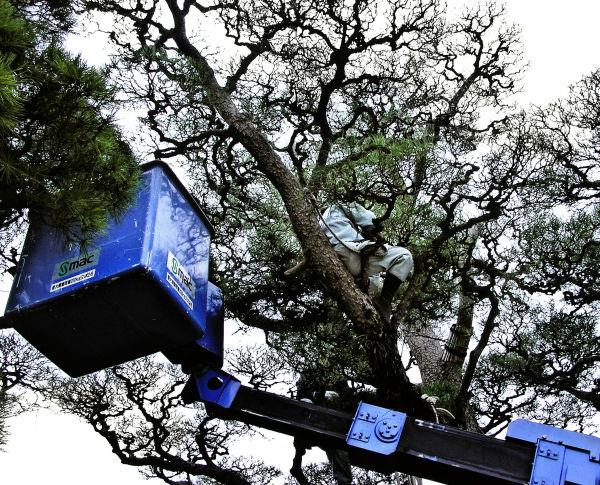 Tree Pruning, Bikan Chiku