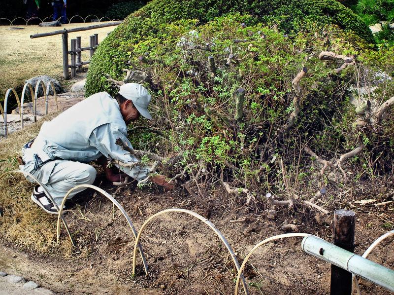 Okayama Japan Korakuen pruning garden shrub