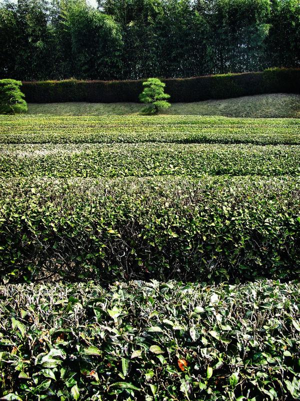 Okayama Japan Korakuen garden tea bush