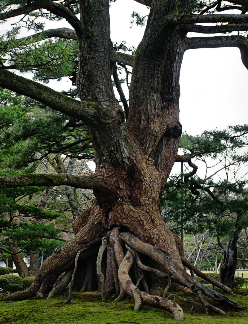 Kenrokuen Kanazawa garden tree Japan moss