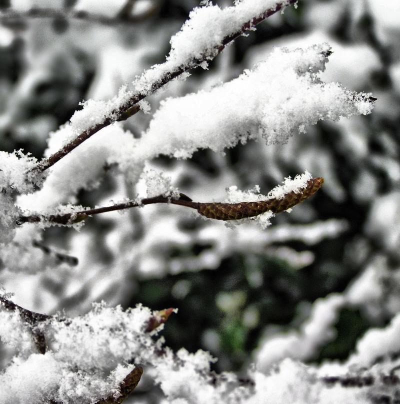 Farnham England snow bud branch