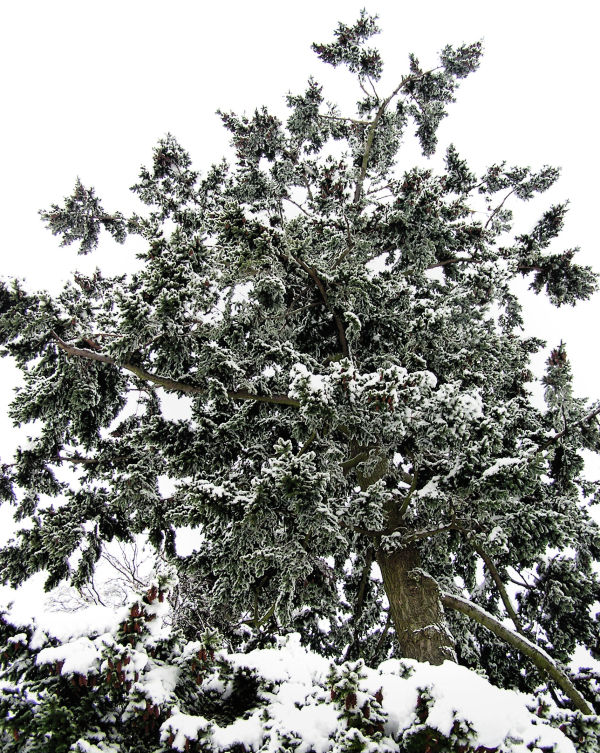 Farnham England snow tree