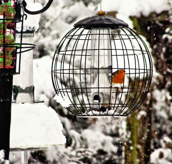 Farnham England snow robin bird garden