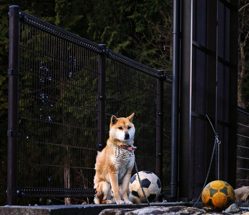 Hida Takayama Japan Gifu dog shiba