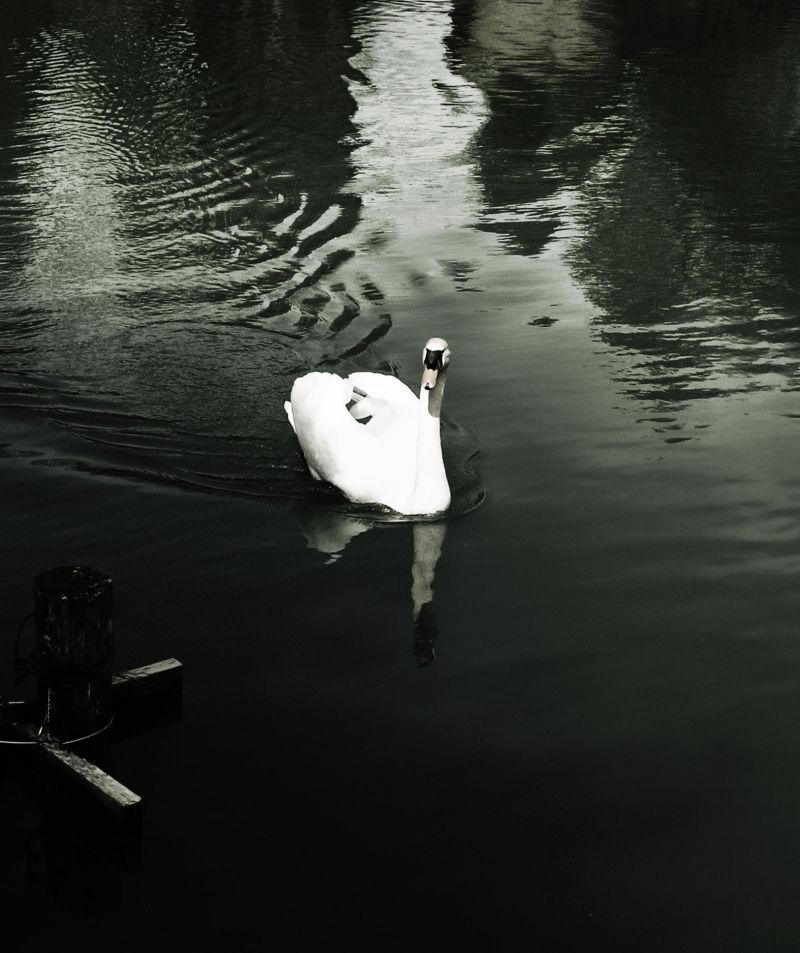 Hida Takayama Japan Gifu swan bird