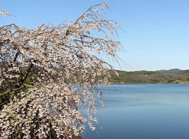 sakura meiji-mura inuyama japan blossom tree lake