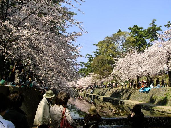 Shukugawa Sakura