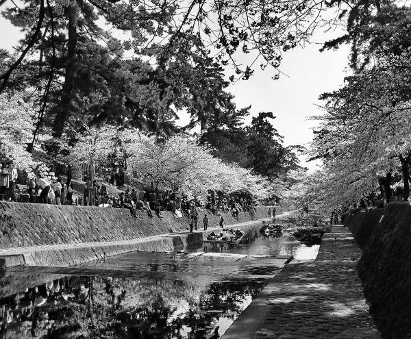 Shukugawa Sakura 3