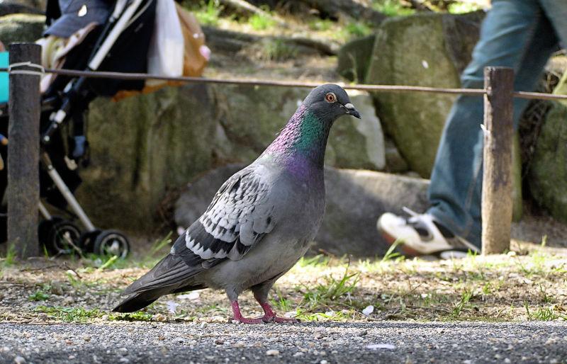 pigeon bird shukugawa japan