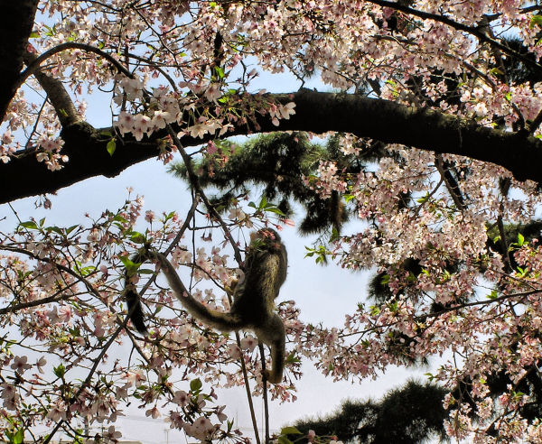 tree blossom sakura shukugawa japan monkey
