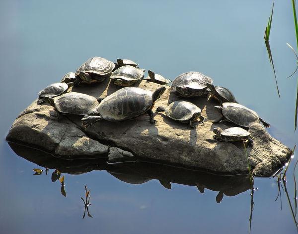 shukugawa japan pond turtle rock