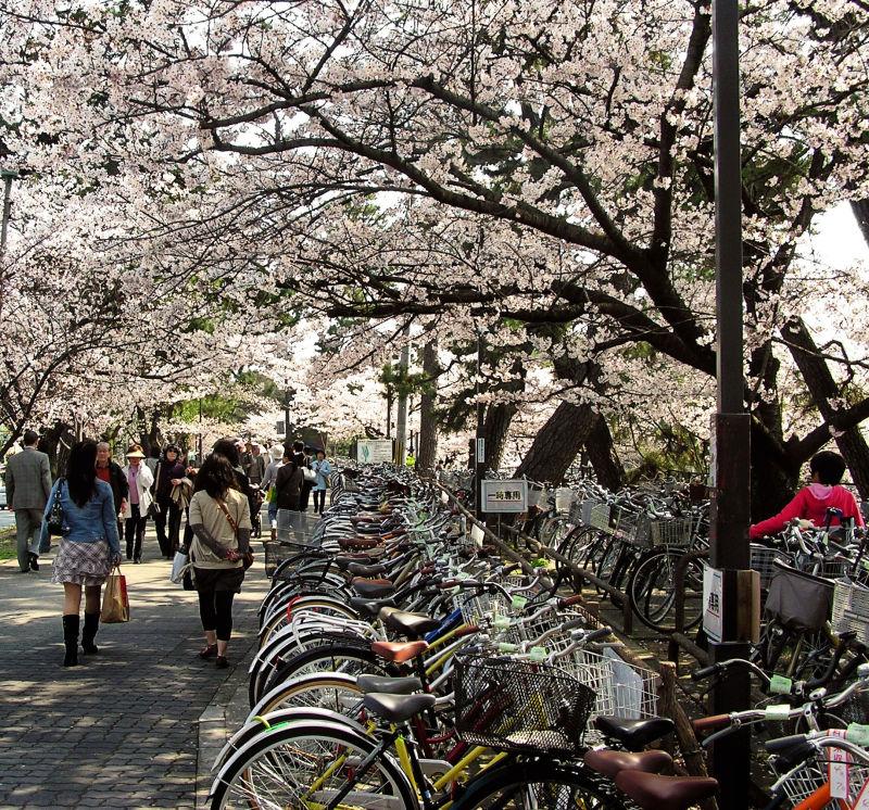 tree bicycle blossom sakura shukugawa japan