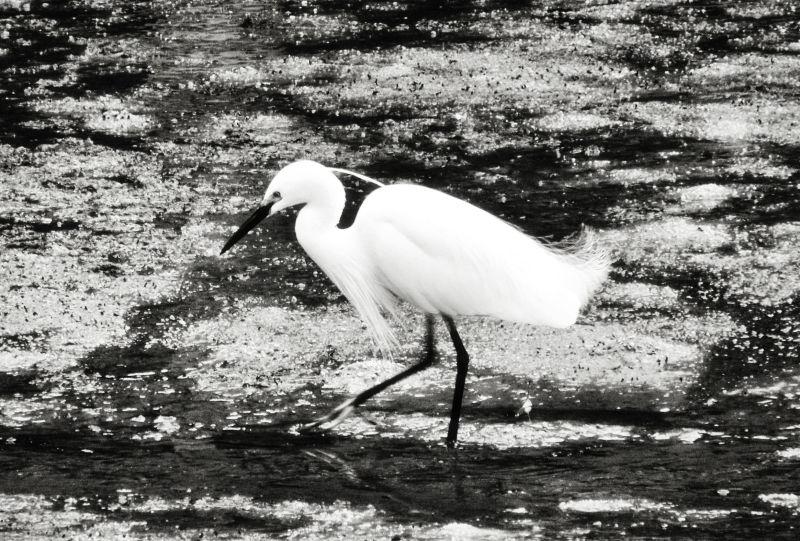hiroshima japan miyajima itsukushima egret bird