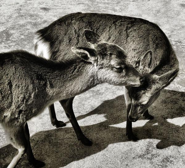 Miyajima Deer 3